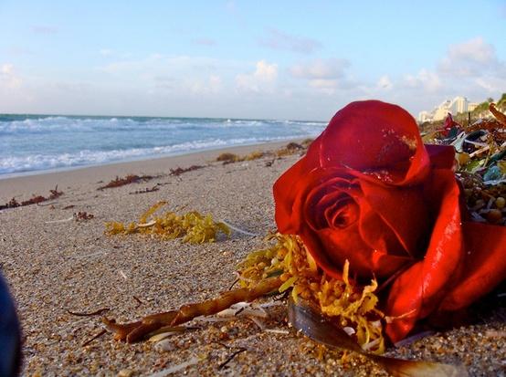 Rose on Beach